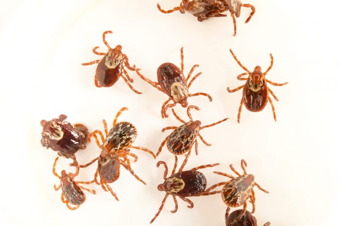 American dog ticks (Dermacentor variabilis) from Bennet, Nebraska. The females have a white ring on the upper abdomen, while the males are mottled.