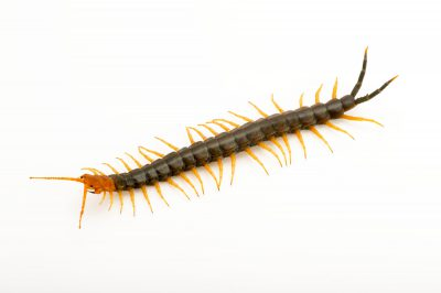 Picture of a redheaded centipede (Scolopendra heros heros) from a private collection.