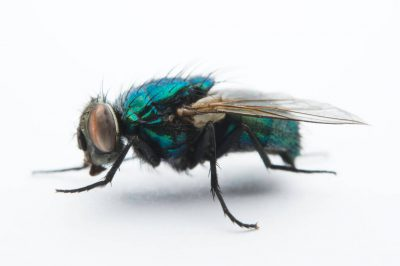Photo: A studio portrait of a fly in Lincoln, Nebraska.