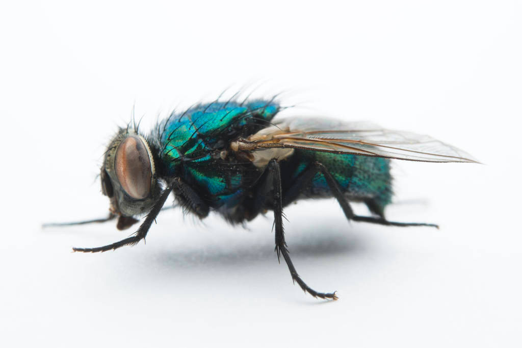 Photo: A studio portrait of a fly in Lincoln, Nebraska.