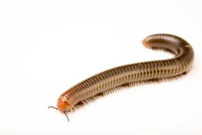 Photo: A millipede, Thyropygus siamensis, at ACCB in Siem Reap, Cambodia.