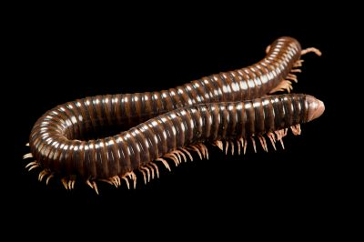 Photo: Tanzanian pink legged millipede (Dendrostreptus macracanthus) at the Budapest Zoo.