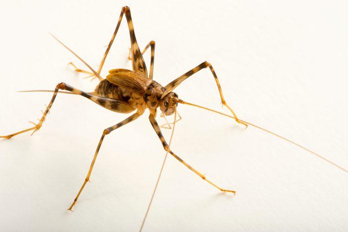 Photo: Cave cricket (Phaeophilacri bredoides) at the Budapest Zoo.