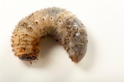 Photo: Grub of Xylotrupes sumatrensis at the Budapest Zoo.