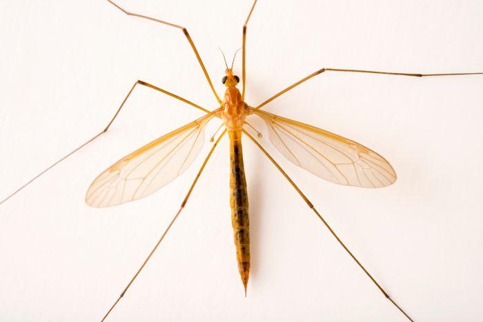 Photo: Female crane fly (Nephrotoma ferruginea) at Cedar Point Biological Station.