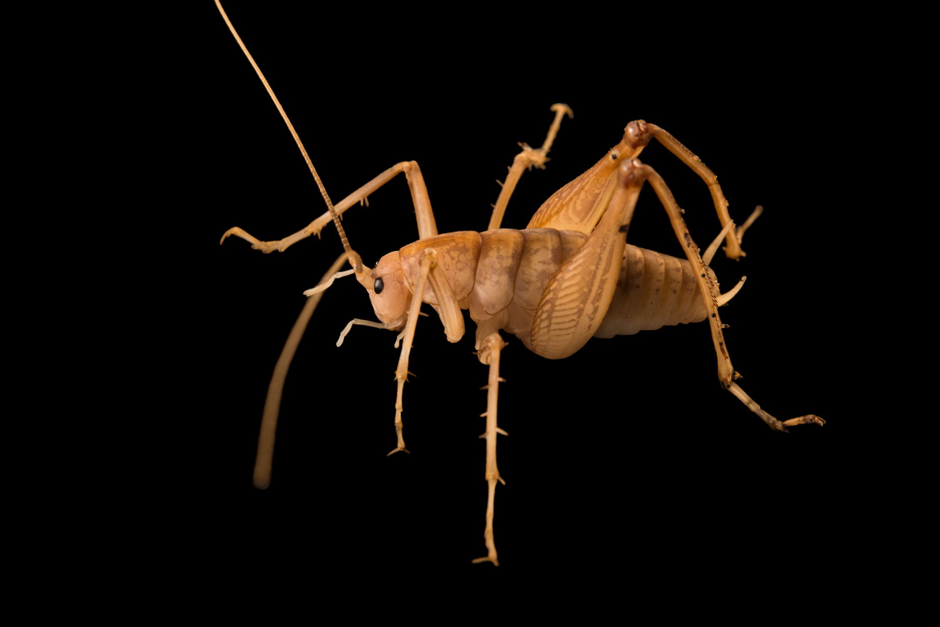 Photo: Camel cricket at the Urban Entomology Lab at the University of Florida in Gainesville.