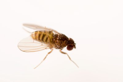 Photo: Dark-eyed fruit fly (Drosophila repleta) at the Urban Entomology Lab at the University of Florida in Gainesville.