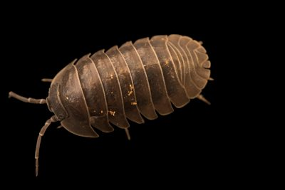 Photo: Southern pill woodlouse (Armadillidium depressum) at the Exmoor Zoo.