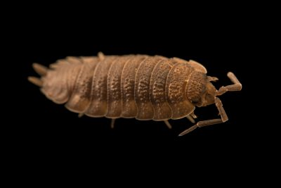 Photo: Common rough woodlouse (Porcellio scaber) at the Exmoor Zoo.