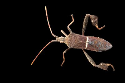 Photo: A leaf-footed bug (Leptoglossus phyllopus) at the University of Florida in Gainesville.
