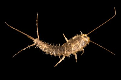 Photo: A silverfish (Lepisma saccharina) at the Urban Entomology Lab at the University of Florida at Gainesville.