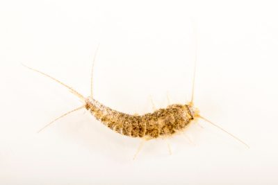 Photo: A silverfish, Lepisma saccharina, at the Urban Entomology Lab at the University of Florida at Gainesville.