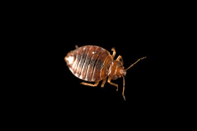 Photo: A common bed bug (Cimex lectularius) at the Urban Entomology Lab at the University of Florida at Gainesville.