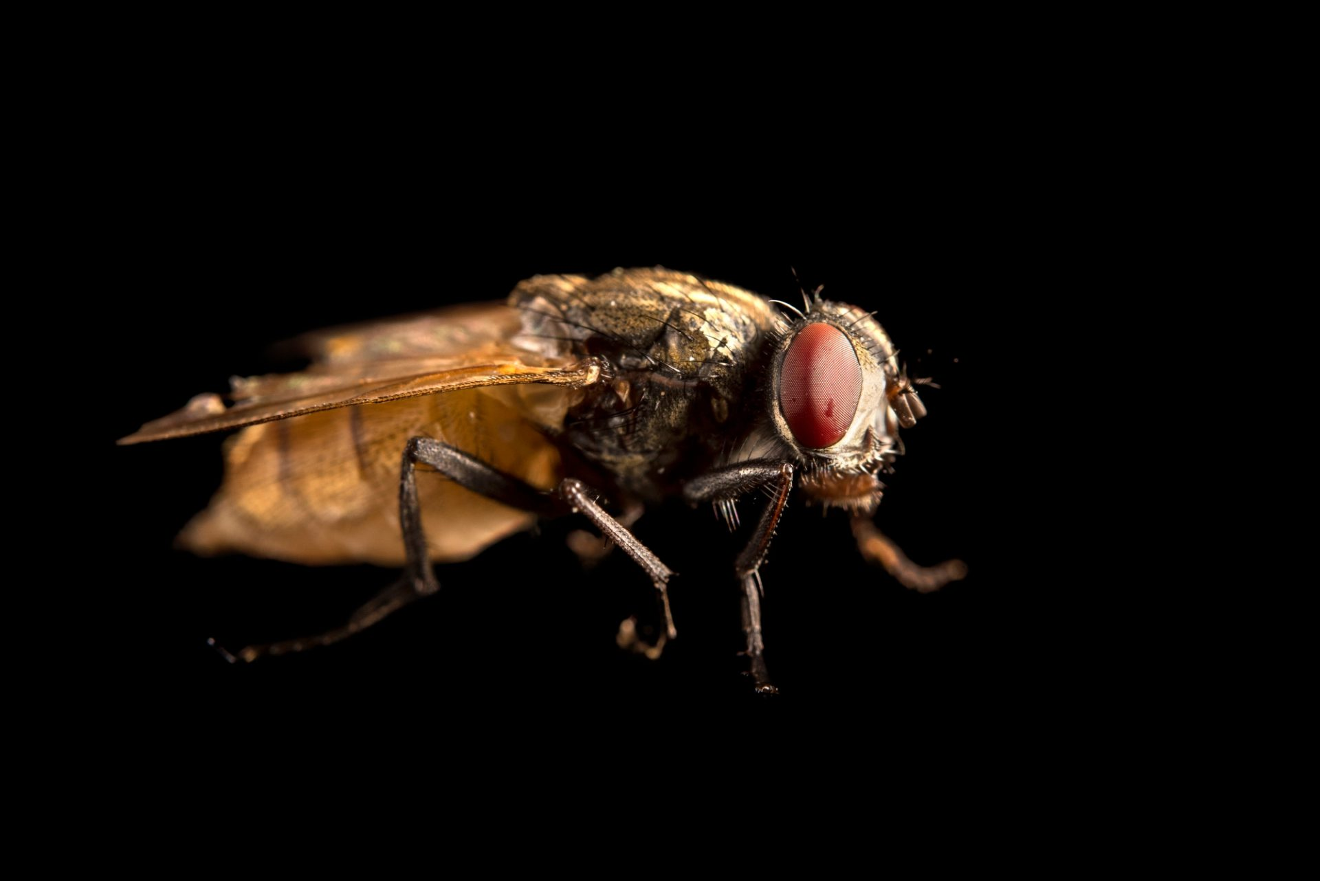 Photo: A housefly (Musca domestica) at the Urban Entomology Lab at the University of Florida at Gainesville.