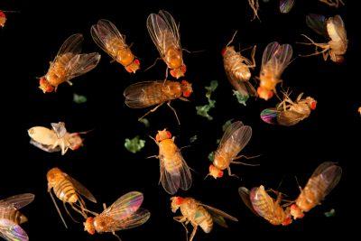 Photo: Red-eyed fruit flies (Drosophila melanogaster) at the Urban Entomology Lab at the University of Florida at Gainesville.