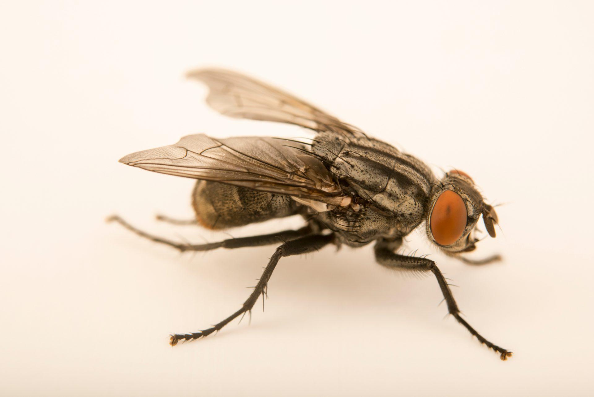 Photo: Grey flesh fly (Sarcophaga bullata) at the Audubon Insectarium.