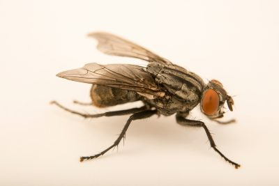Photo: Grey flesh fly (Sarcophaga bullata) at the Audubon Insectarium.