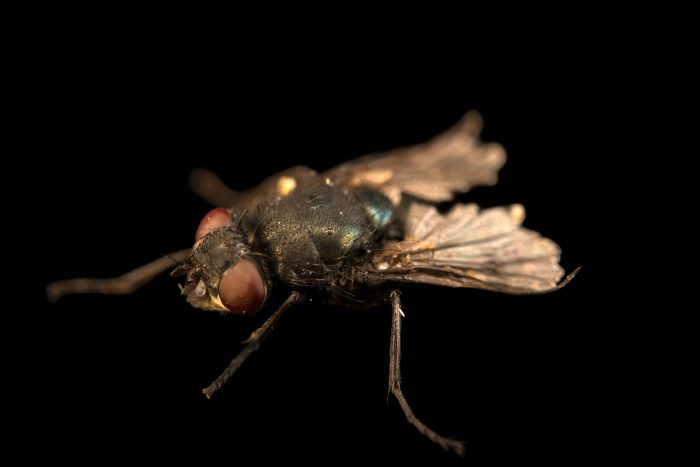 Photo: Blow fly (Calliphora vomitoria) at the Audubon Insectarium.