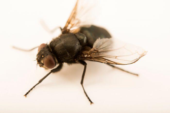Photo: Blow fly (Calliphora vomitoria) at the Audubon Insectarium.