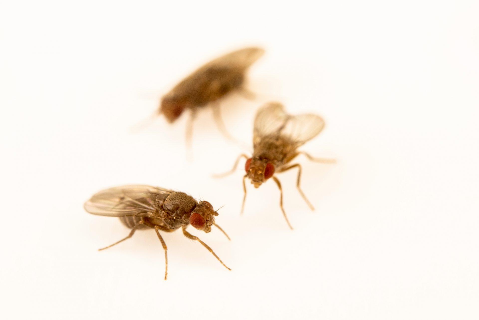 Photo: Virilis fruit flies (Drosophila virilis) at the Cincinnati Zoo.