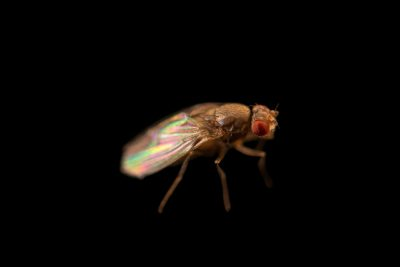 Photo: Virilis fruit fly (Drosophila virilis) at the Cincinnati Zoo.