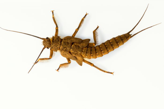 Photo: Nymph of the American salmonfly (Pteronarcys dorsata) at Conservation Fisheries.