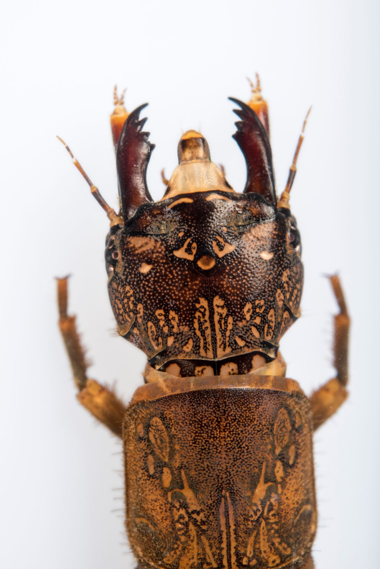 Photo: Larvae of a dobsonfly (Corydalus cornutus) at Conservation Fisheries.