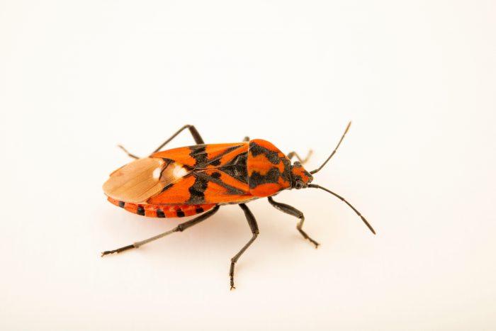 Photo: Seed bug (Spilostethus pandurus) at Graham's Quinta dos Malvedos Vineyard.