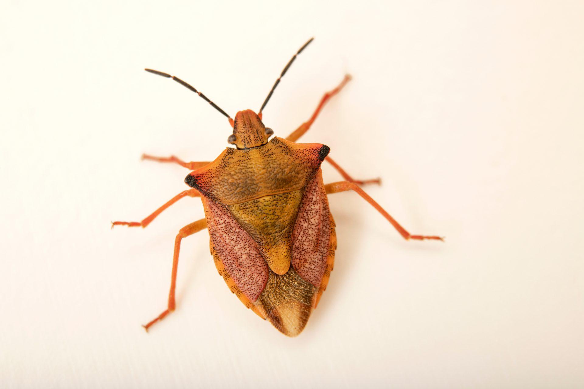 Photo: Red shield bug (Carpocoris mediterraneus) at Graham's Quinta dos Malvedos Vineyard.