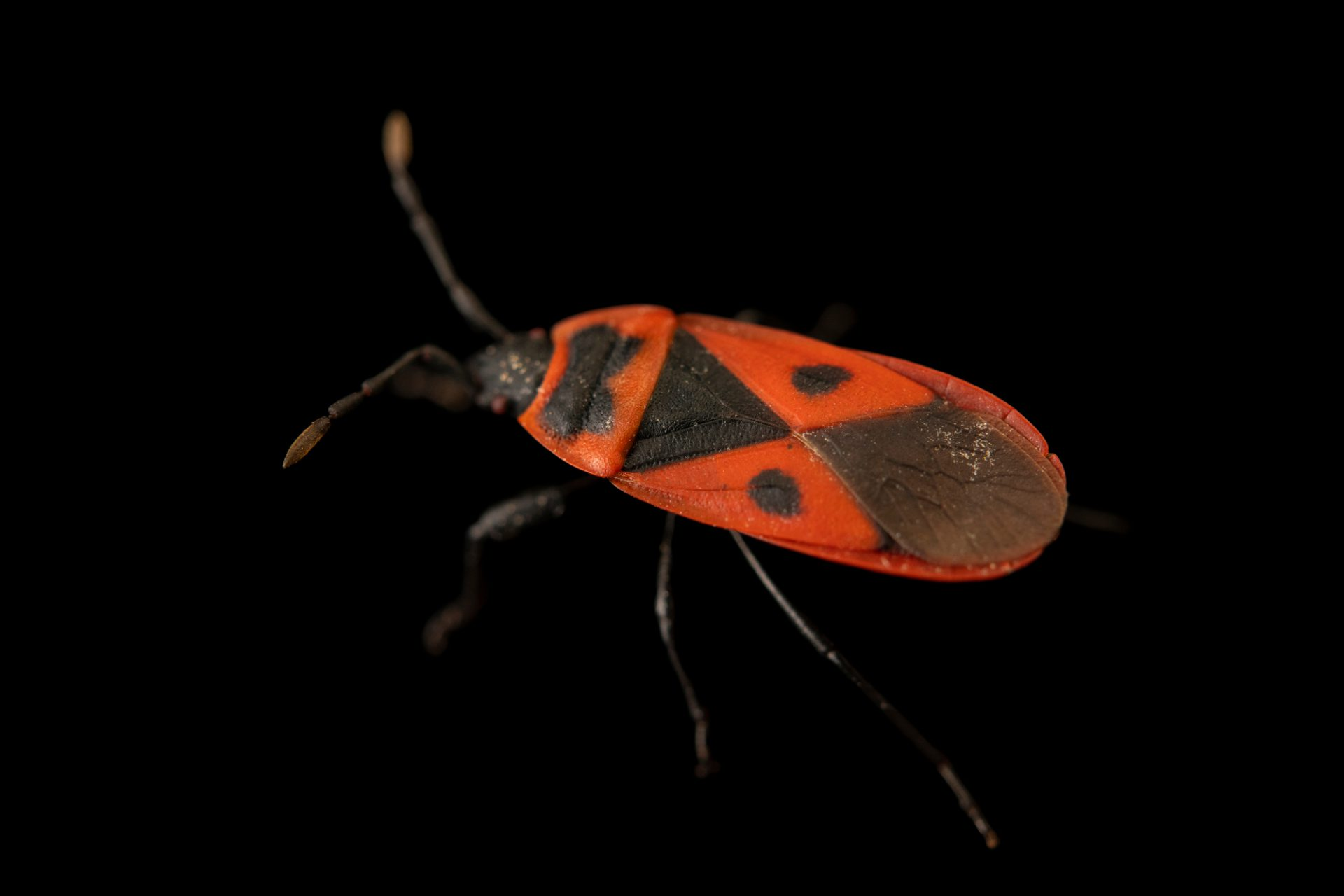 Photo: Mediterranean red bug (Scantius aegyptius) at Graham's Quinta dos Malvedos Vineyard.