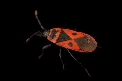 Photo: Mediterranean red bug (Scantius aegyptius) at Graham's Quinta dos Malvedos Vineyard.
