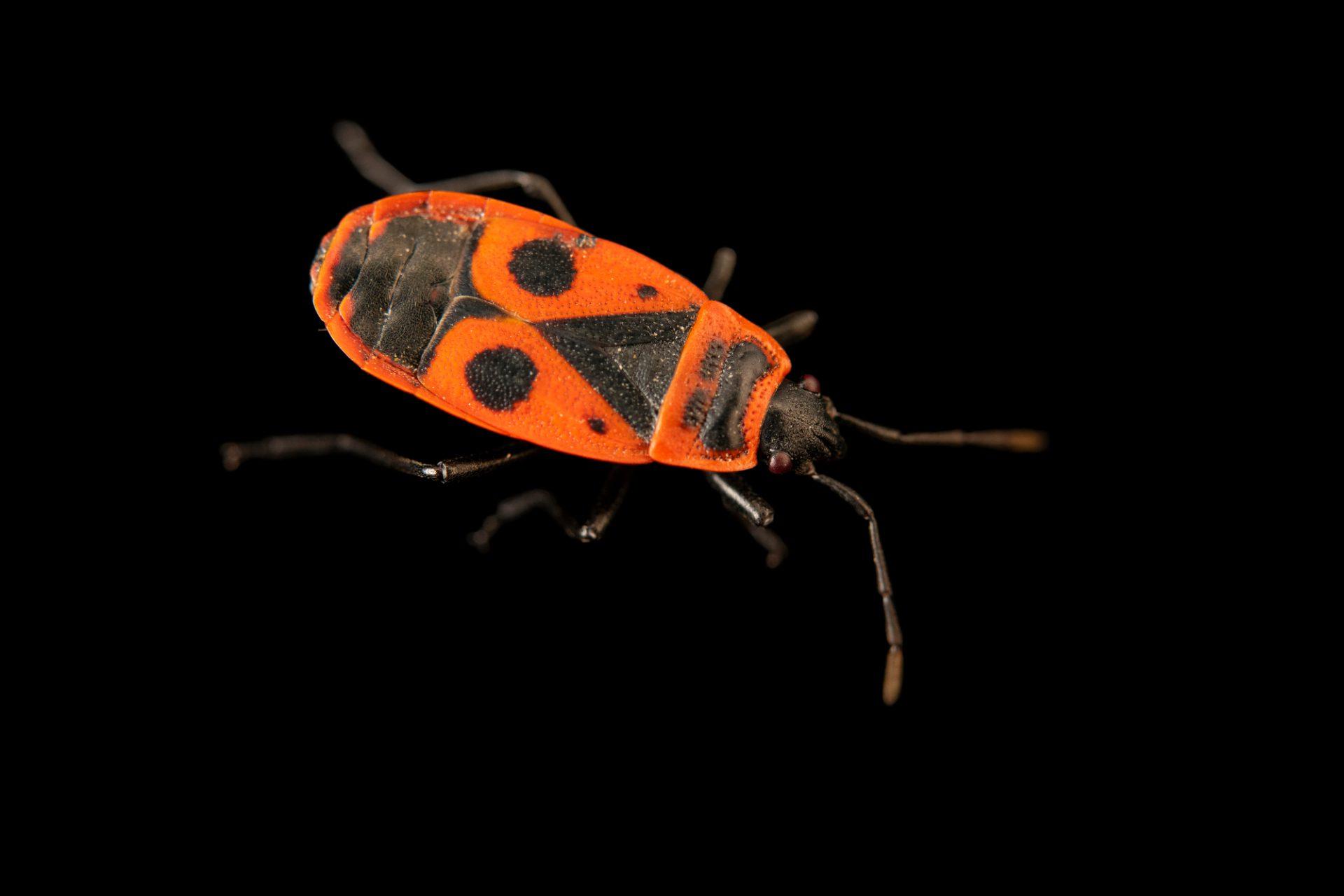 Photo: Fire bug (Pyrrhocoris apterus) at Graham's Quinta dos Malvedos Vineyard.