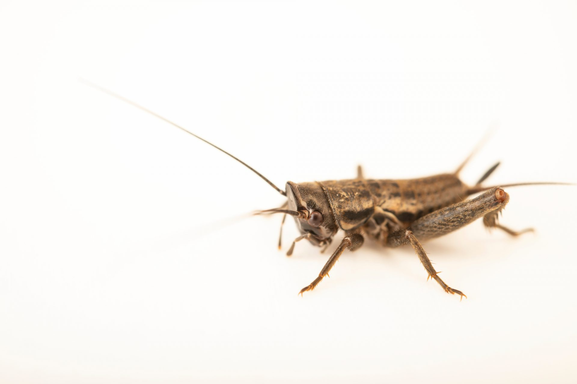Female Lusitanian spade-cricket (Sciobia lusitanica) at Graham's Quinta dos Malvedos Vineyard.