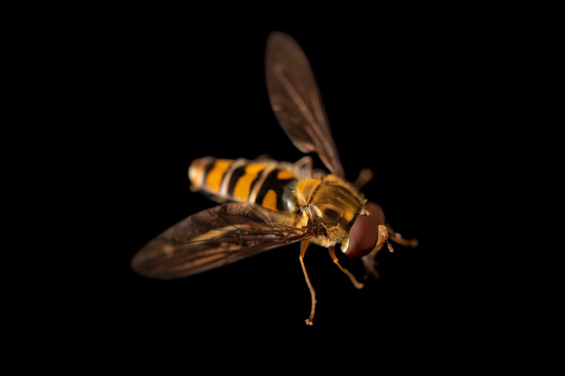 Photo: Hover fly (Episyrphus balteatus) at Graham's Quinta dos Malvedos Vineyard.