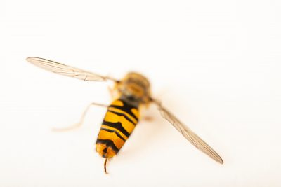Photo: Hover fly (Episyrphus balteatus) at Graham's Quinta dos Malvedos Vineyard.