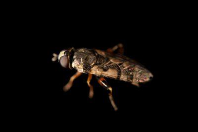 Photo: A thick-legged hoverfly (Syritta pipiens) at Graham's Quinta dos Malvedos Vineyard.