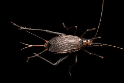 Photo: An unidentified cricket (Homoeogryllus sp.) from Ethiopia, at the Moscow Zoo.