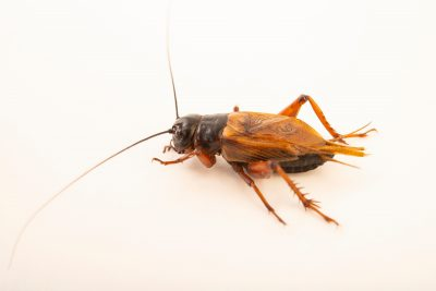 Photo: Southern field cricket (Gryllus bimaculatus) at the Moscow Zoo.