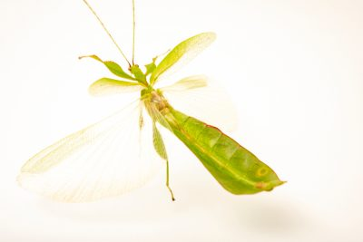 Photo: Australian leaf insect (Phyllium monteithi) at Melbourne Zoo.