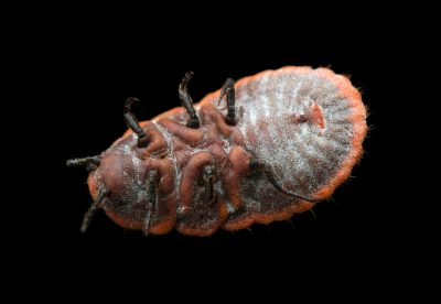 An unidentified scale insect (family Coccoidae) from the wild in Cameroon.