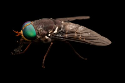 Photo: Horsefly (Tabanus americanus) at Gulf Specimen Marine Lab.