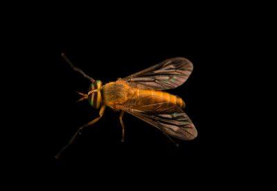 Photo: Yellow fly (Diachlorus ferrugatus) at Gulf Specimen Marine Lab.