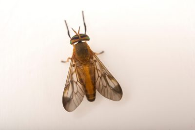 Photo: Yellow fly (Diachlorus ferrugatus) at Gulf Specimen Marine Lab.