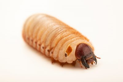 Photo: Unidentified Grub, potentially of the rhino beetle variety, at the Angkor Centre for Conservation of Biodiversity (ACCB) in Siem Reap, Cambodia.