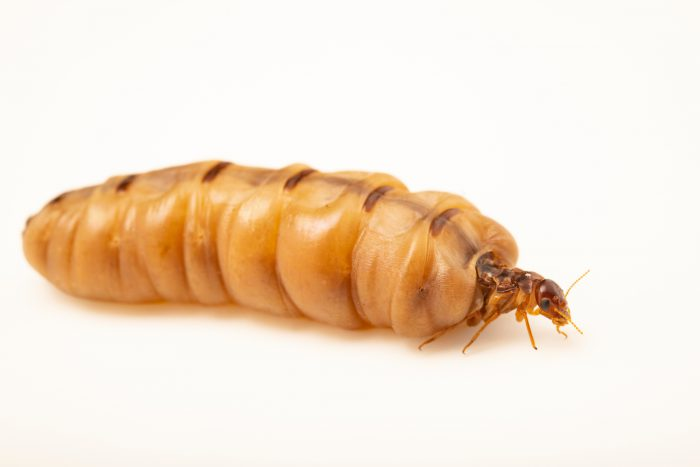 Photo: An unidentified termite queen at the Angkor Centre for Conservation of Biodiversity (ACCB) in Siem Reap, Cambodia.
