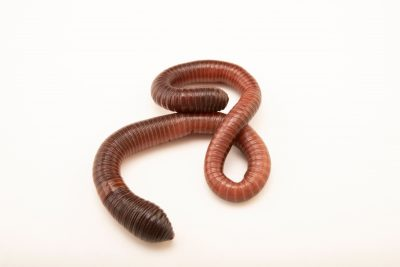Photo: An unidentified earthworm from the grounds of the Avilon Zoo.