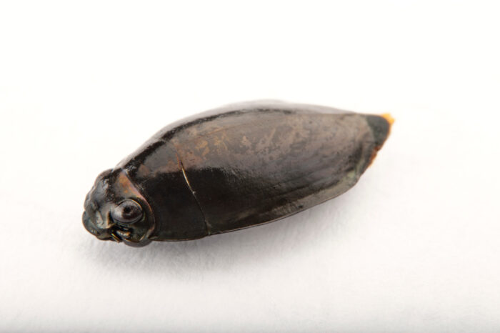 Photo: Whirligig beetle (Gyrinidae sp.) at the Insectarium in New Orleans.