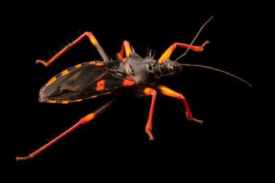 Photo: A horrid king assassin bug (Psytalla horrida) at the Plzen Zoo in the Czech Republic.