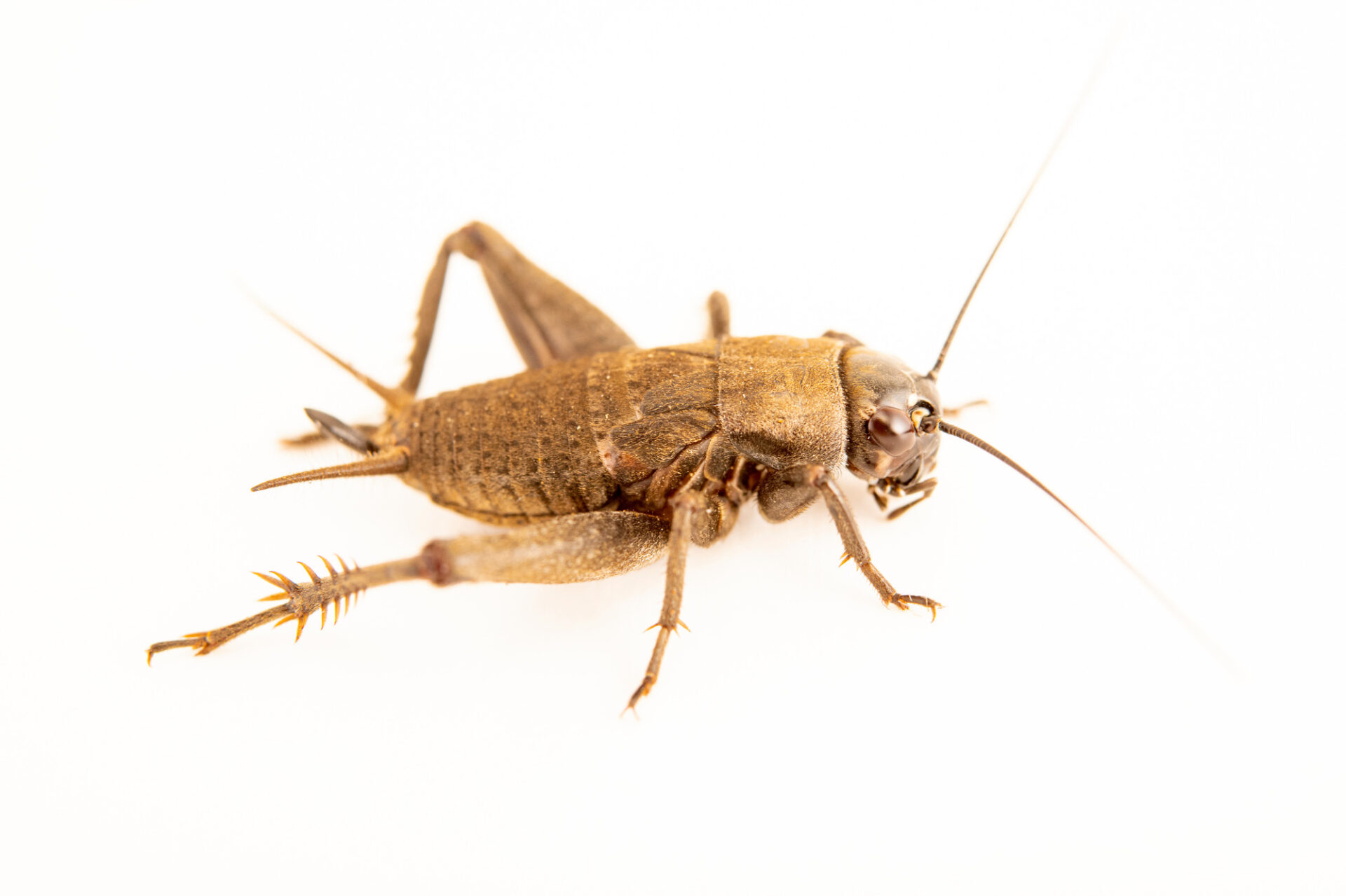 Photo: An unidentified cricket species (Grillidea family) at the Museo d'Orbigny Natural History Museum in Cochabamba, Bolivia.