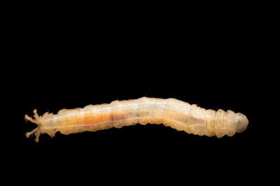 Photo: An unidentified cranefly larvae (Tipulidae sp.) collected by the West Liberty University Crayfish Conservation Lab. This insect was collected from Seven Springs, Pennsylvania